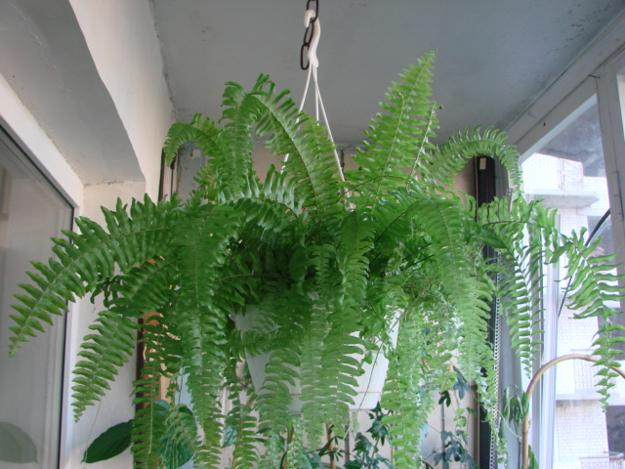 Fern Decor For Room Windows Facing North And Interiors