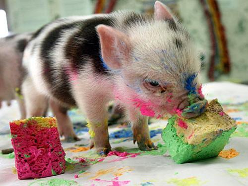 miniature pigs eating food