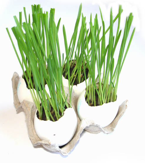 growing grass in egg shells