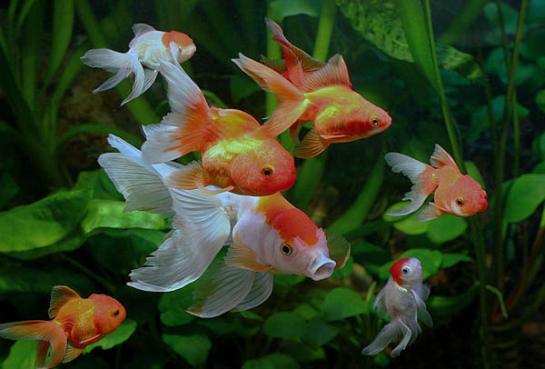 feng shui homes with koi fish and aquarium