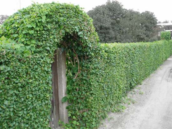 Hedgerow Entrance Gate Decorating With Climbing Plants Green Fence