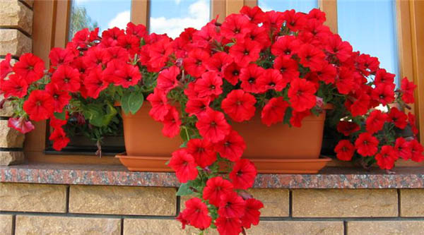 red flowers for exterior window decorating