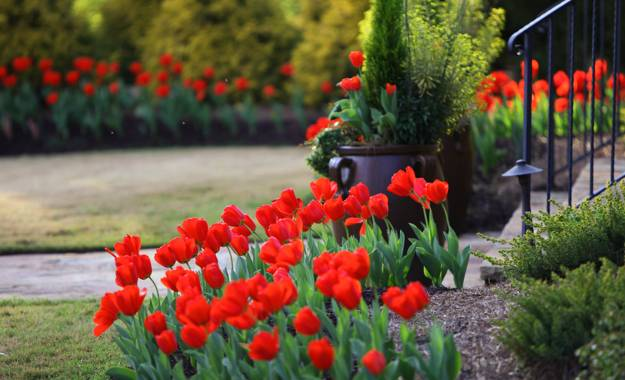 Red Tulips, Spring Yard Landscaping Ideas