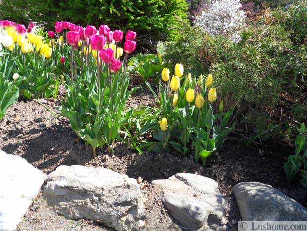 Spring flowers and yard landscaping ideas 20 tulip bed design ideas mightylinksfo