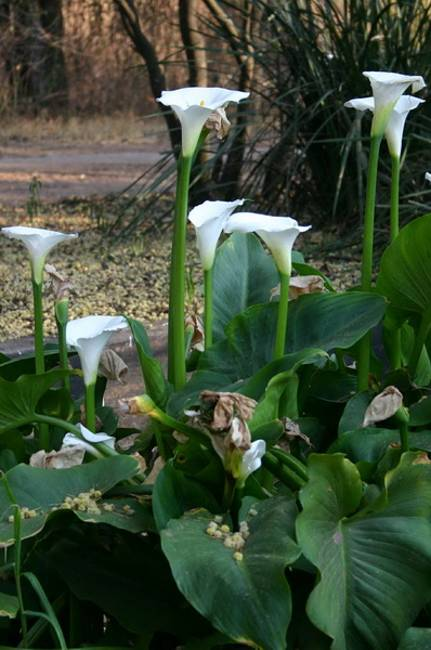 Calla Lily Flowers Add Gracious Beauty To Landscaping
