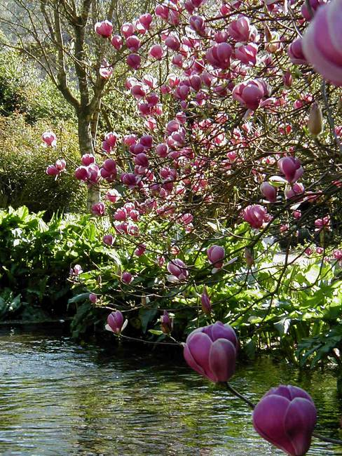 backyard ideas and natural medicine, spring flowers of magnolia tree