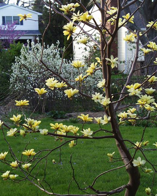 Gardens With Magnolia Trees 25 Healing Backyard Ideas To