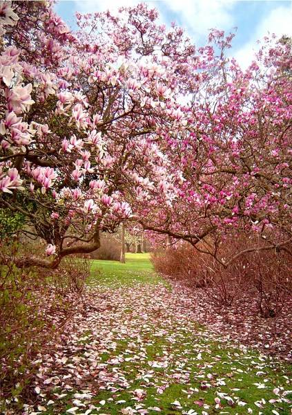 magnolia flowers, flowering plants for spring garden