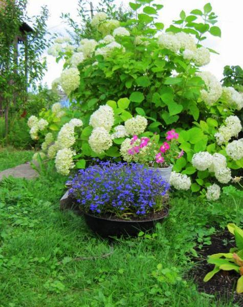 15 Beautiful Backyard Ideas For Hydrangea Shrubs Blending