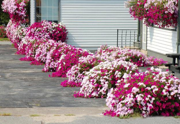 Outdoor Home Decorating With Petunias Waves Of Color
