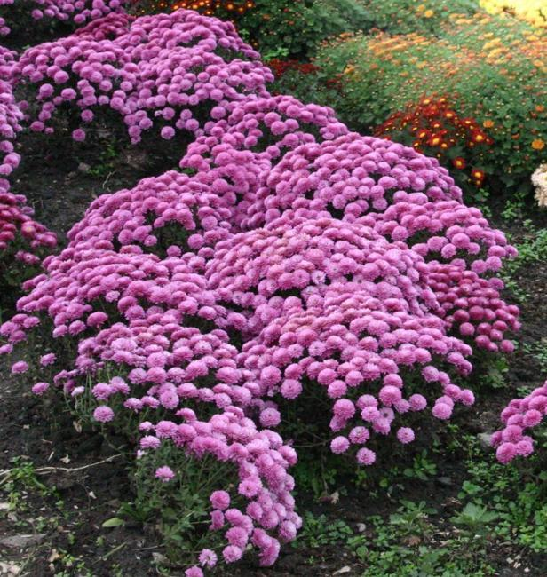 flower beds, garden decorations and landscaping ideas with chrysanthemums