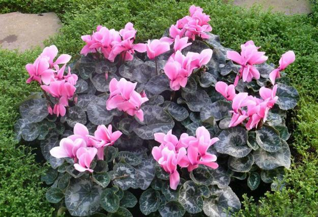 Romantic Home Decorating With Flowers Of Beautiful Cyclamen