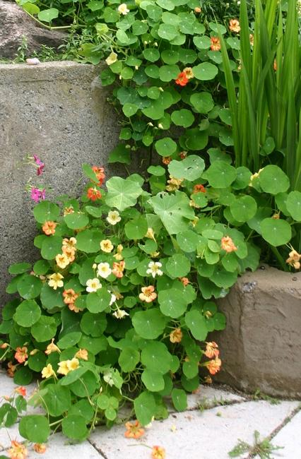Growing Bright Edible Flowers For Outdoor Home Decorating