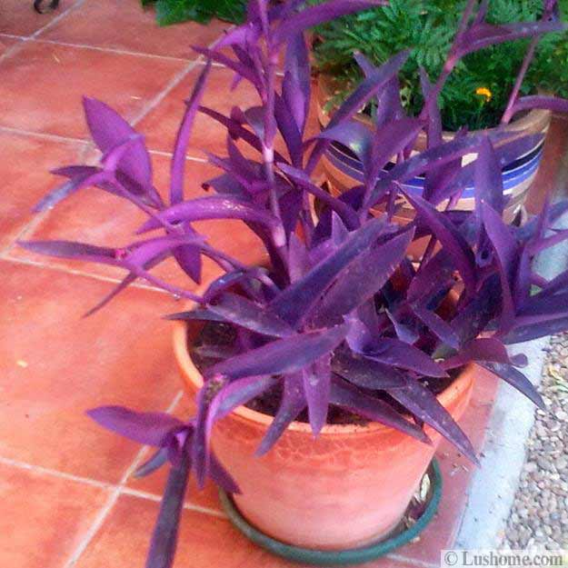 Garden Design And Interior Decorating With Tradescantia