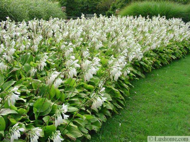 Beautiful Border For Green Lawn Created With Hostas