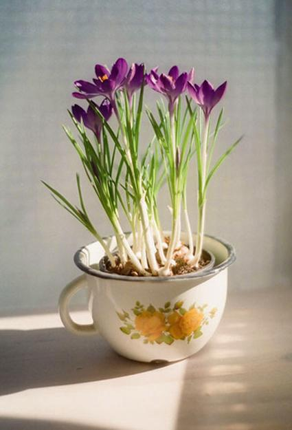 growing crocuses in planters