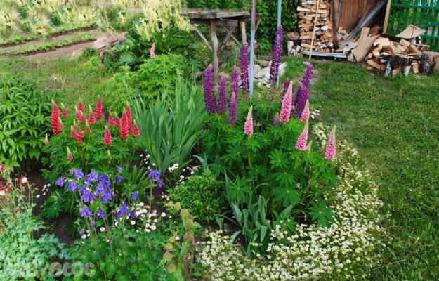 Colorful Lupines Adding Character to Flower Garden Design and Yard on colorful cactus garden, colorful forest, colorful garden english, colorful annual flowers, country gardens, colorful landscaping, cottage gardens, colorful summer flowers, colorful daisy flowers, colorful tropical flowers, rose gardens, colorful roses, colorful annuals for full sun, colorful perennial flowers, hummingbird plants for shady gardens, japanese gardens, colorful restaurants, colorful hearts, colorful blooming flowers, colorful garden beds,