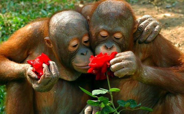 two monkeys smelling roses