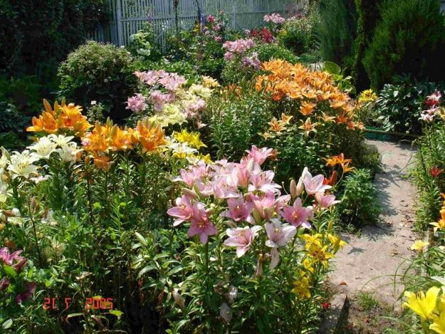 Lilies Beautiful Flowering Plants For