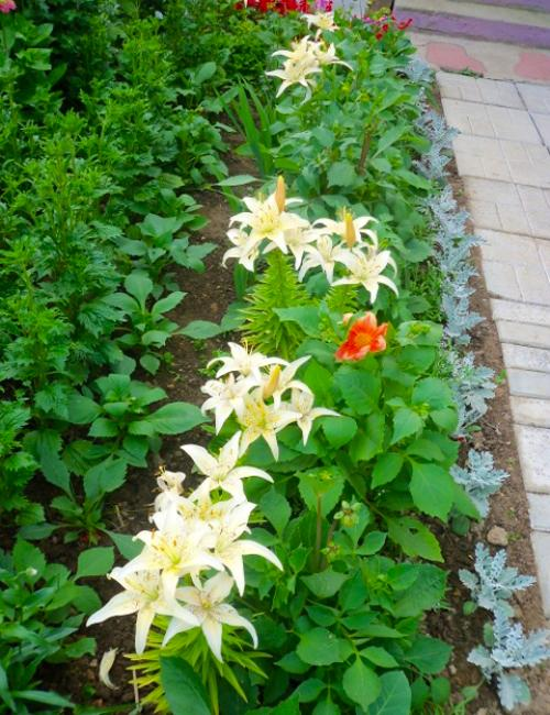 Lilies Beautiful Flowering Plants For No Stress Garden Design
