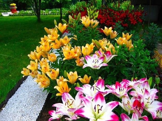 Lilies Beautiful Flowering Plants For No Stress Garden Design