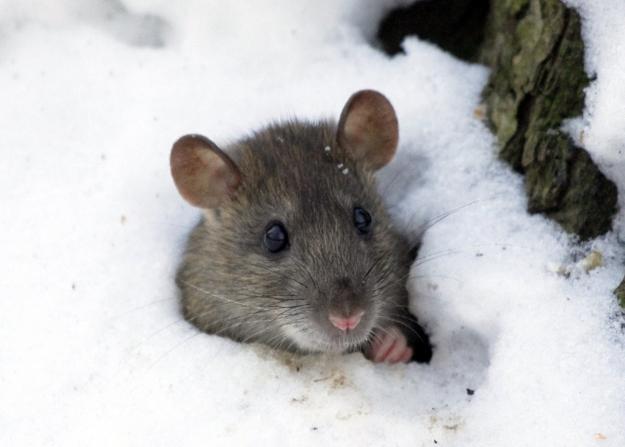 winter snow small animal mice