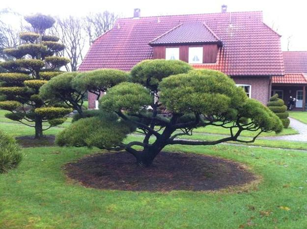 how prune shape dwarf pine trees